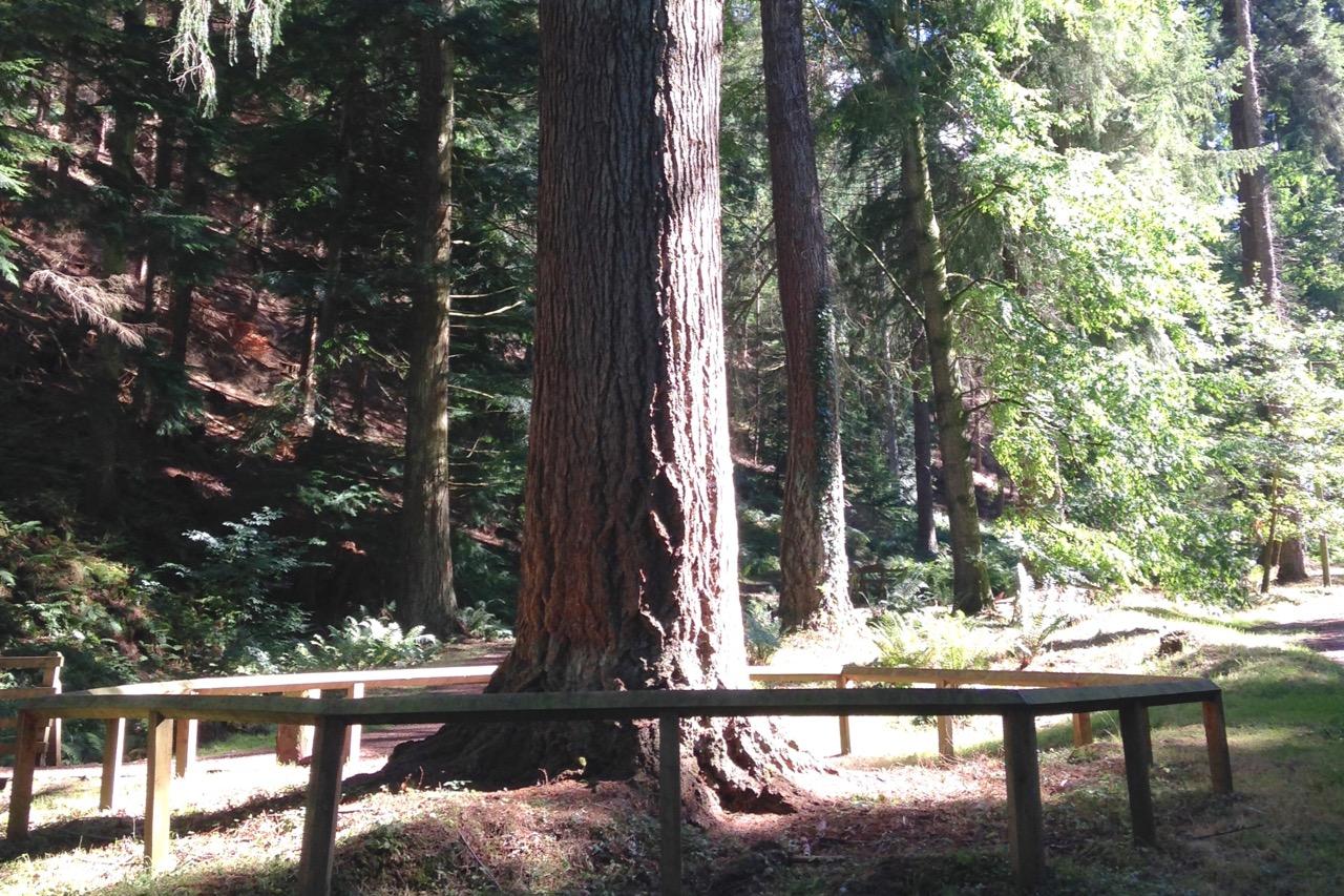 tallest-tree