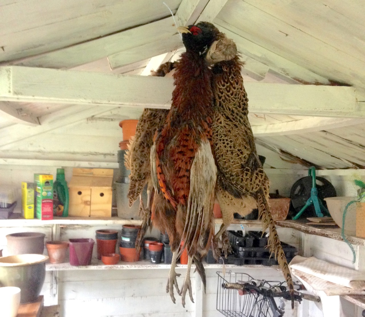 pheasants-in-the-shed